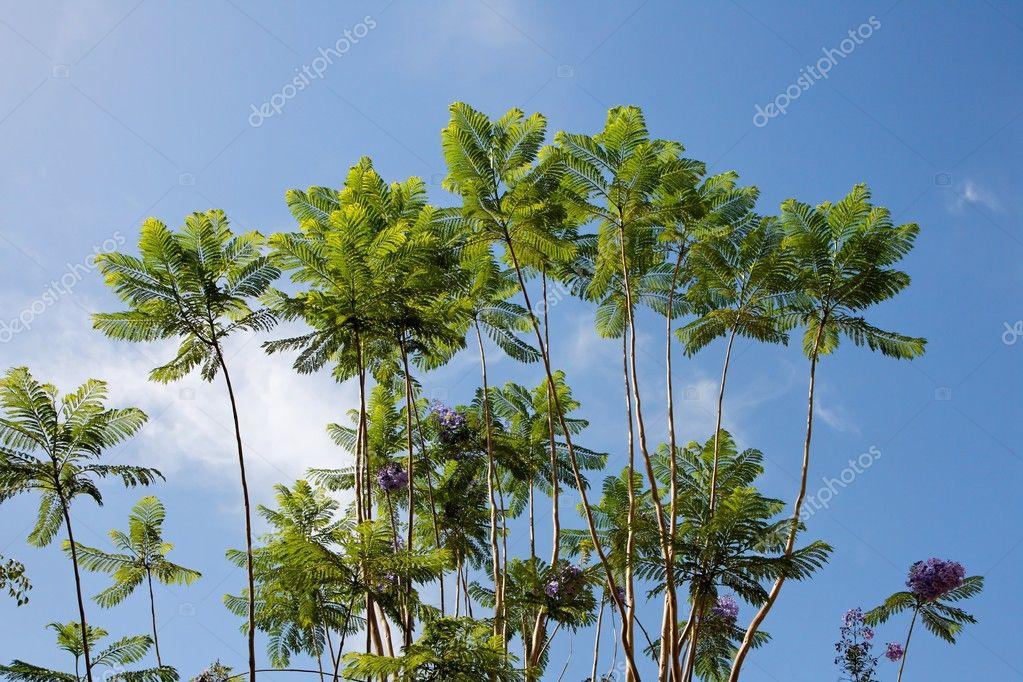 acacia des arbres branches et fleurs violet photographie slavapolo 1176042. Black Bedroom Furniture Sets. Home Design Ideas