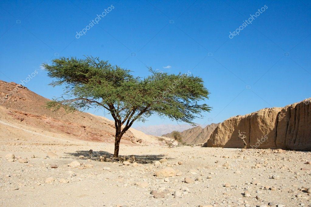 Acacia tree in the desert