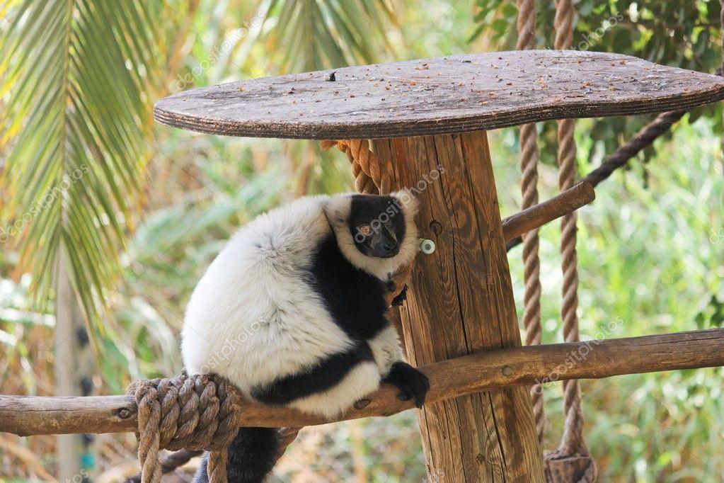 Black and white ruffed lemur in zoo