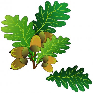 Branch of oak with green leaves and ripe acorns, vector an illustration stock vector