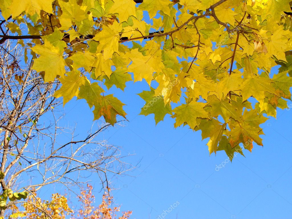 Maple leaves in the blue sky