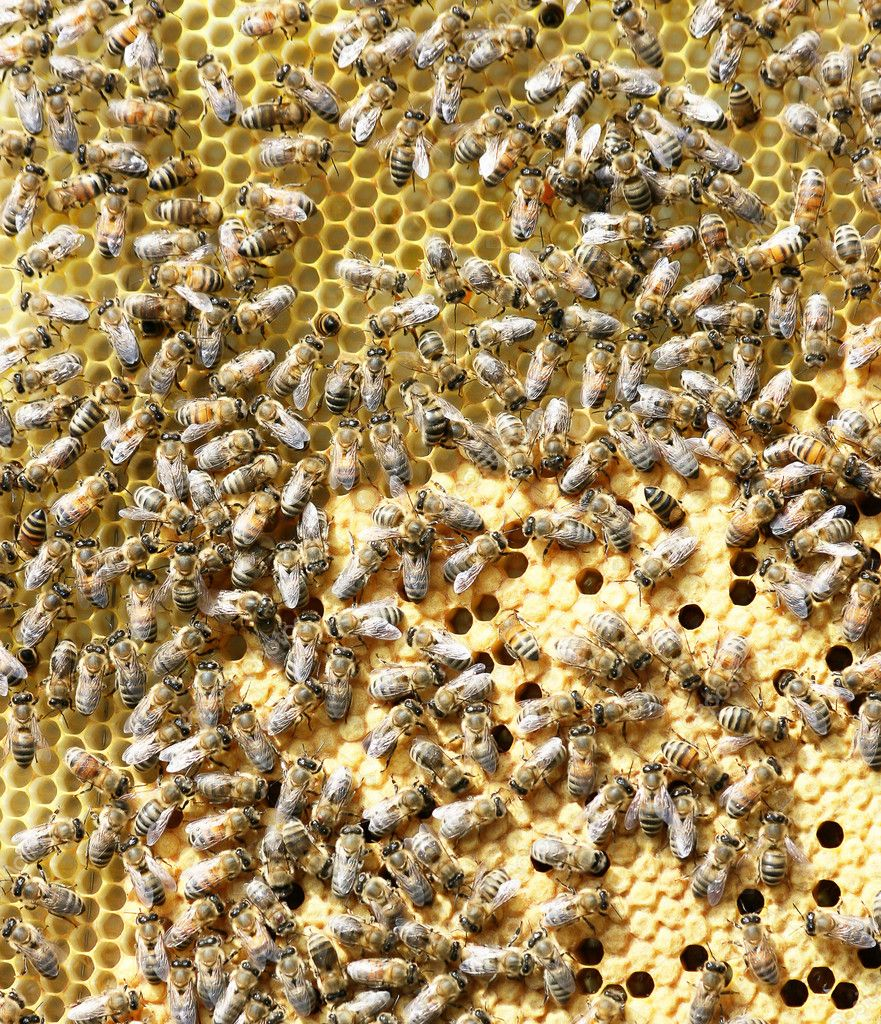 Bees on brood comb