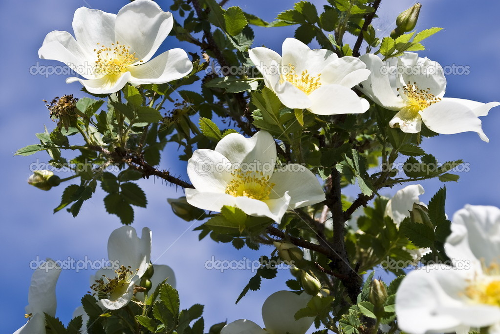 Blossoming wild rose