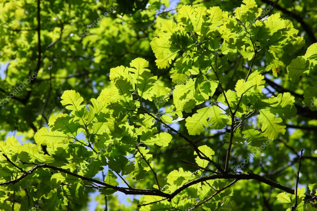 Oak twigs with green leafs