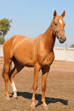 Young palomino stallion on blue sky