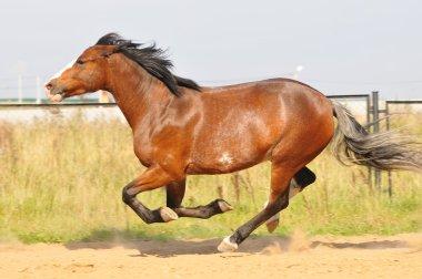 Brown horse running