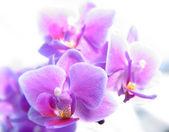 Fotografie Phalaenopsis