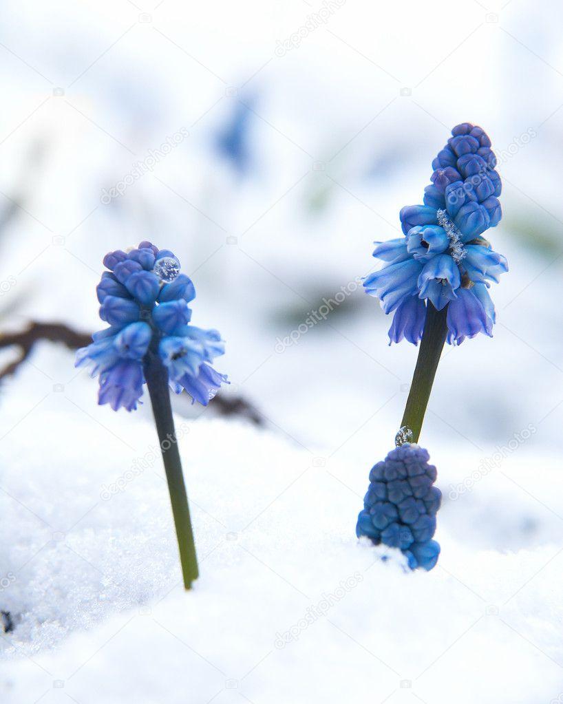 Muscari under the snow