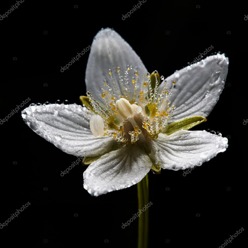 Dew on grass-of-Parnassus flower