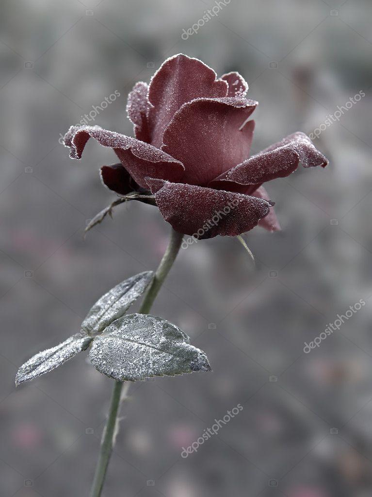 Rose under hoar-frost