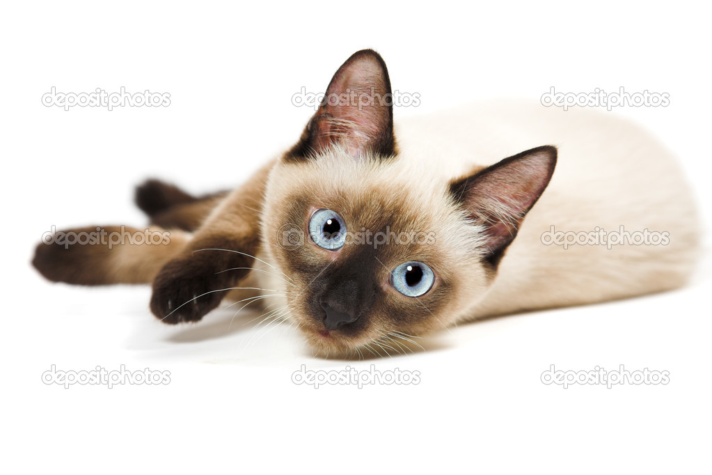 Topic des chats - Page 33 Depositphotos_2106896-stock-photo-siamese-cat