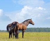 két öböl lovak