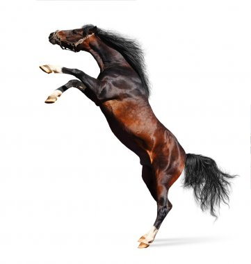 Arabian horse rears