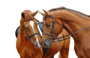 Two sorrel horses
