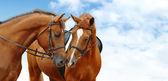 dva koně šťovík