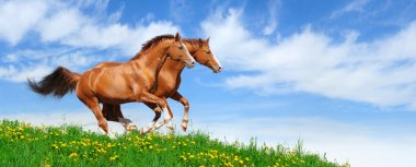 Two stallions gallop in field