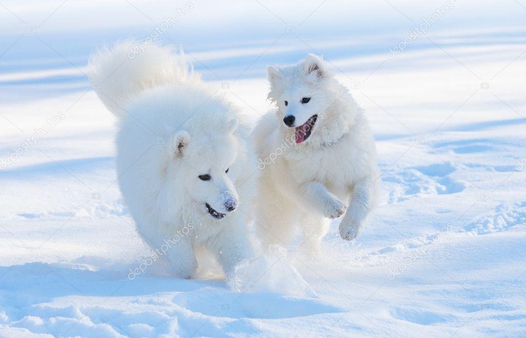 Samoyed Dog Breed For Sale