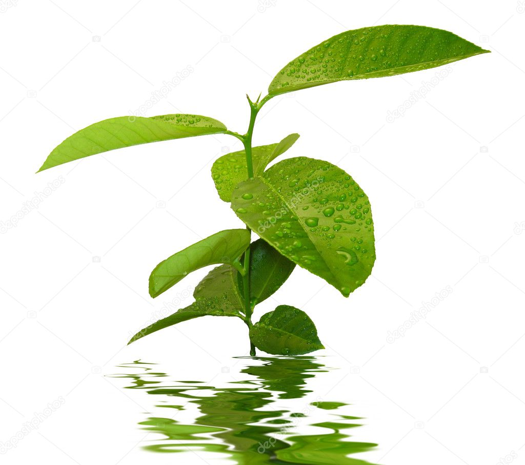 Young lemon tree with water drops