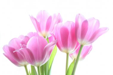 Tenderly pink tulips