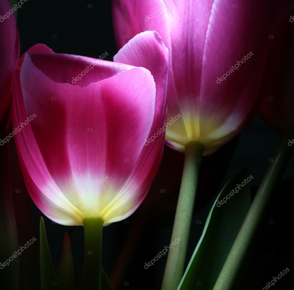 Luminous tulips in night