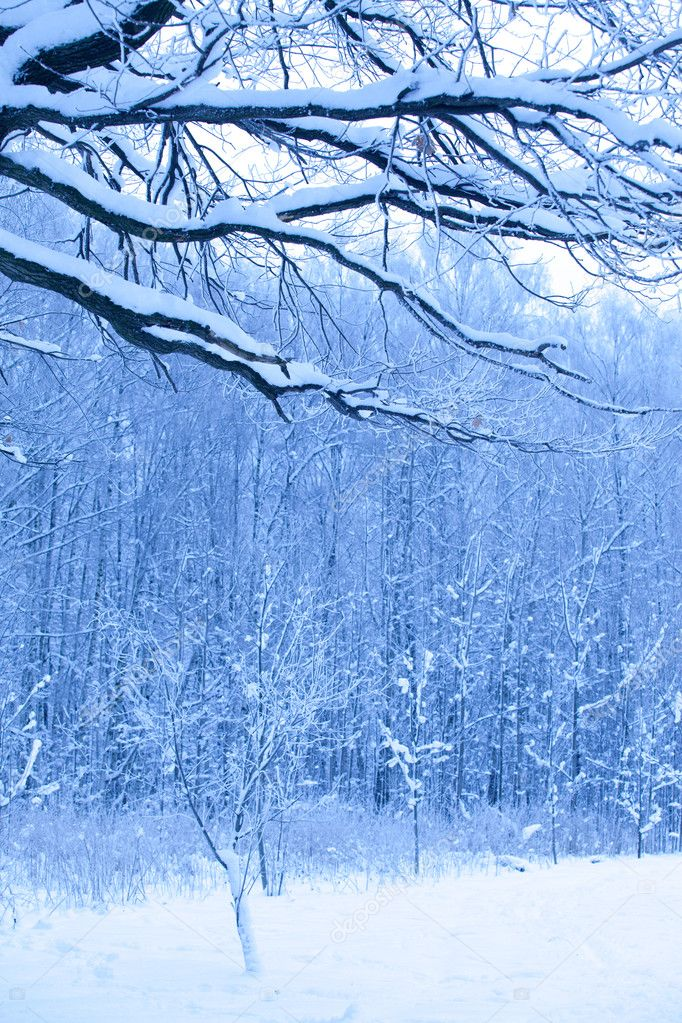 Blue morning in snow wood