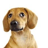 Fotografie štěně jezevčíka
