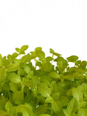 Fresh basil against white background