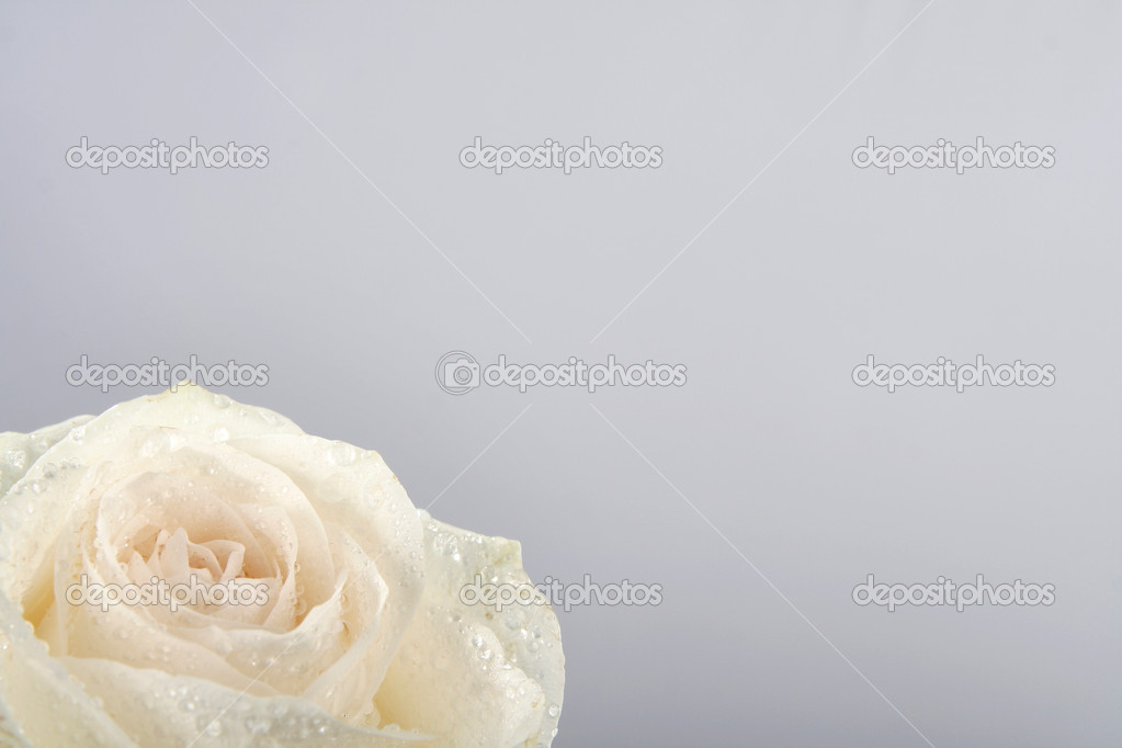 White rose on a light grey background