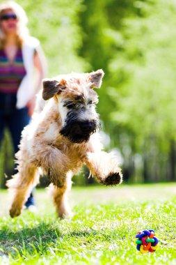 Running dog catch ball