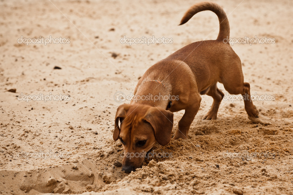Funny dachshund puppy is digging hole on