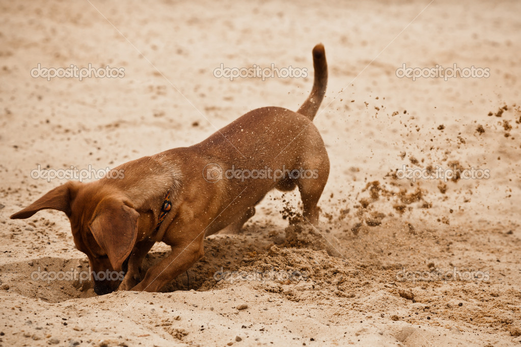 Dachshund puppy is digging hole on beach