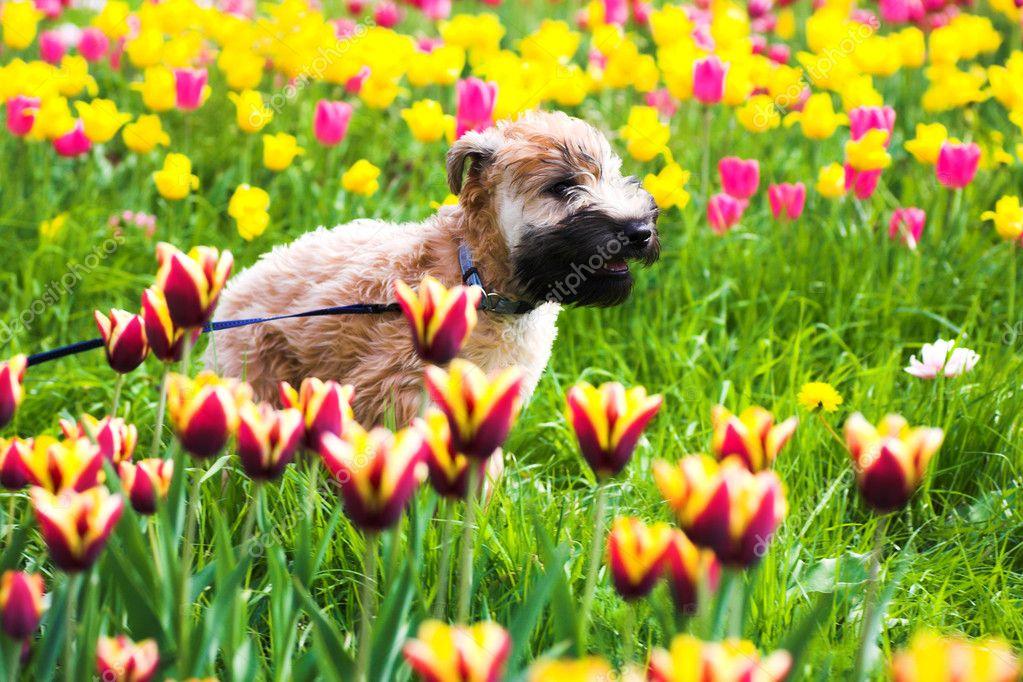 Running dog on Tulips