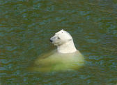 Polar bear in the cold frigid waters