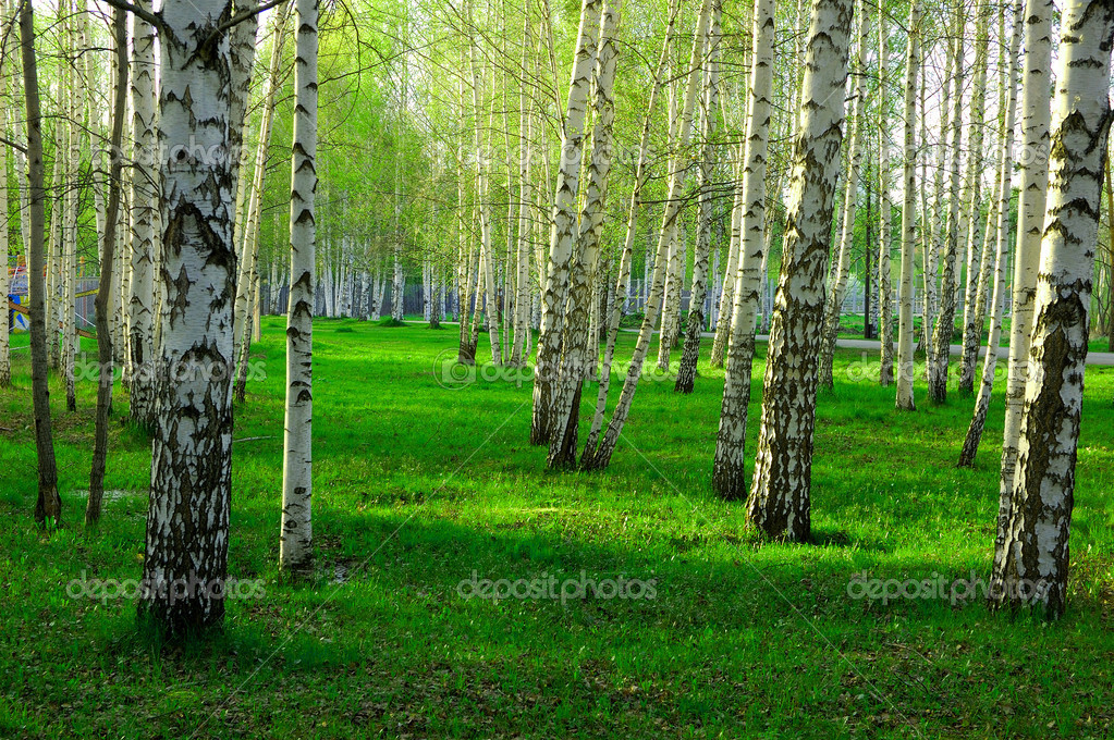 Birch wood in Russia