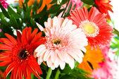 Fotografie květiny Gerbera