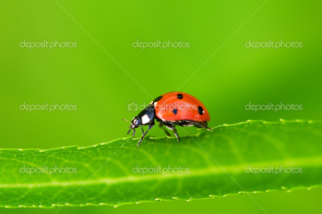 Lady bug sitting on the green leave