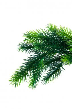 Close up of fir tree branch isolated