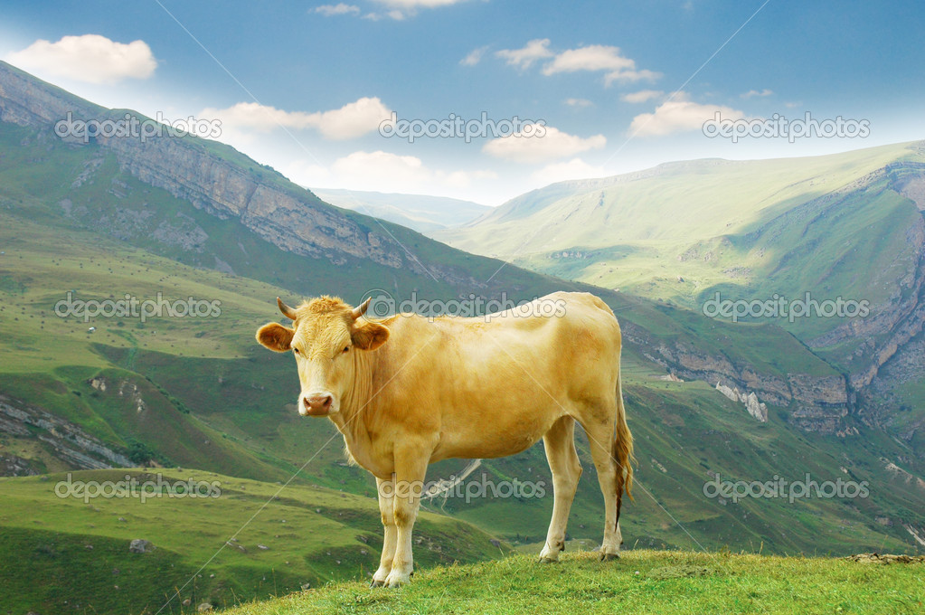 Brown cow in the mountains