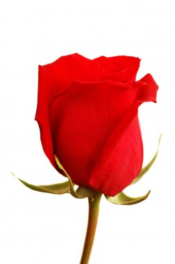 Close up of the red rose isolated