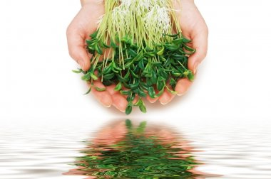 Two hands holding herbs isolated