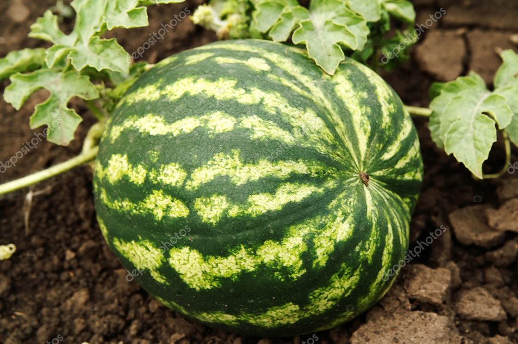 Water-melon plantation