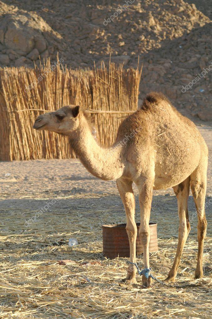 Camel 23