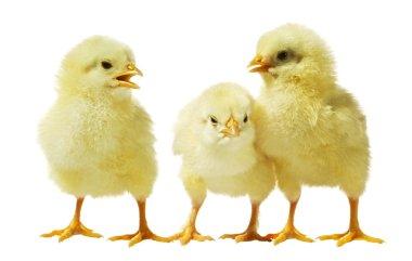 Chicken against white background