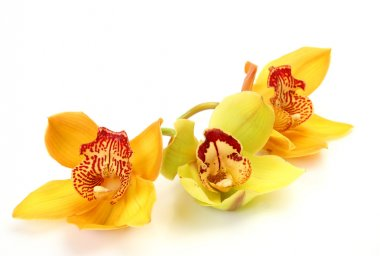 Fine orchids