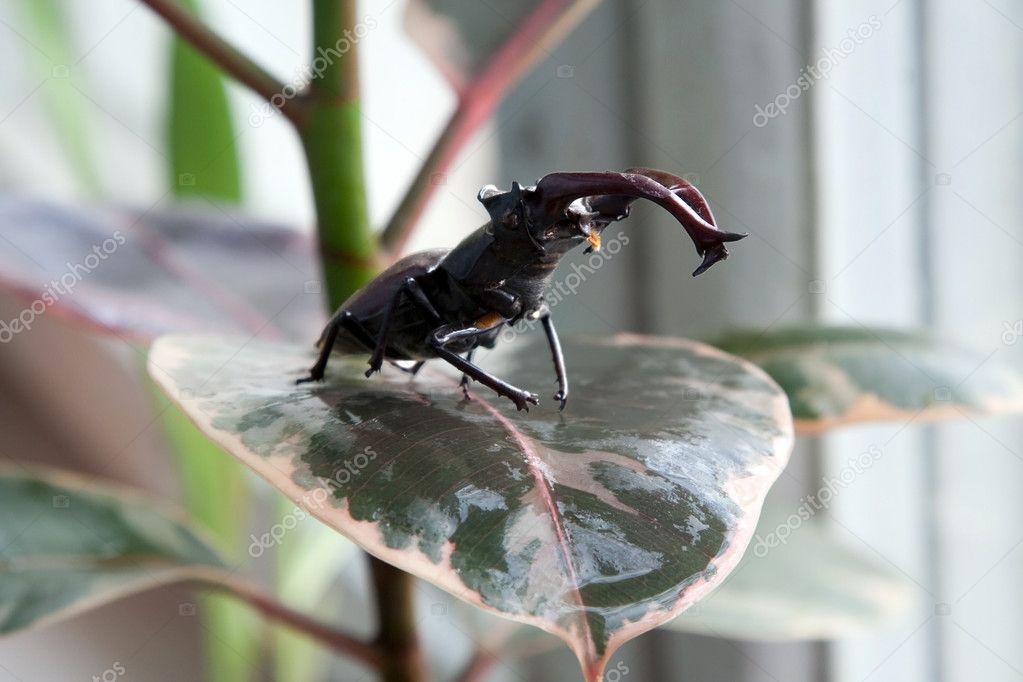 Stag beetle on the leaf