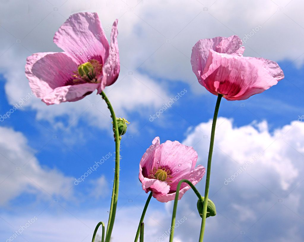 Flower of the poppy on background cloudy