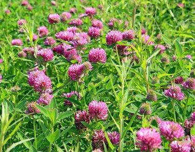 Dutch clover on field