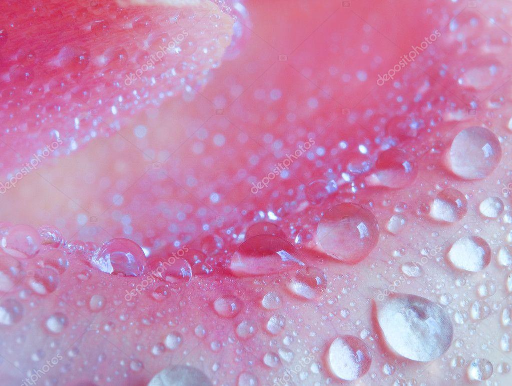 Rose petal close up