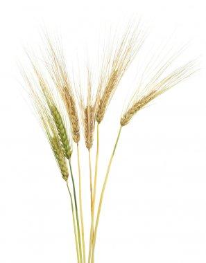 Ripe wheat on white background
