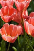 Fényképek tulipánok a kert